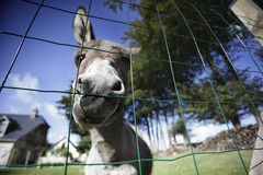 Little grey Donkey Stock Photo