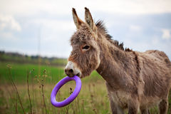 Little Grey donkey. With toy Royalty Free Stock Photo