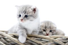Little grey fluffy kitten being curious and serious while exploring surrounding and sitting together with other funny. Cute kitties in white wicker wreath Stock Photography