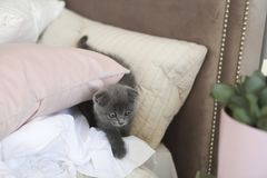 Little grey cat hide in pillows on the bed. Little grey funny cat hide in pillows on the bed Stock Photography