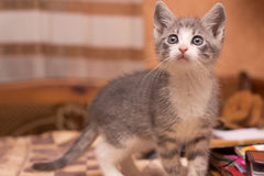 Little grey kitten Royalty Free Stock Images