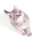 Little grey kitten Stock Image
