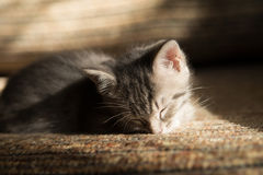 Little grey kitten dreaming on sofa. Indoor Royalty Free Stock Photo