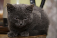 The little grey kitten fell asleep on the table. Royalty Free Stock Photography