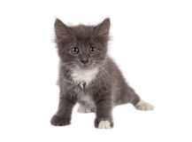 Little grey kitten looking to camera Royalty Free Stock Photo