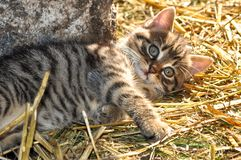 Little grey kitten lying on the hay in the sun, looking at the camera, at the countryside royalty free stock photo