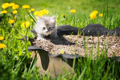 Little grey kitten playing in grass and dandelions. Outdoor Royalty Free Stock Photos