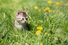 Little grey kitten playing in grass and dandelions. Outdoor Stock Photo