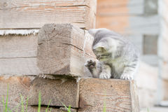 Little grey kitten playing with paw on wooden background Stock Photography