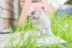 Little grey kitten playing on wooden background Stock Photo