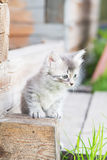 Little grey kitten playing on wooden background Royalty Free Stock Images