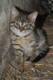 Little grey kitten standing on the hay, hugging to the wall, looking at the camera, at the countryside stock image