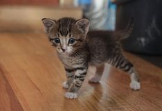 Little grey kitten with stripes stands on the wooden surface of the house. Looking straight stock image