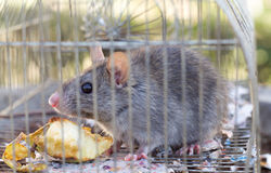 Little grey mouse eating an apple Royalty Free Stock Image