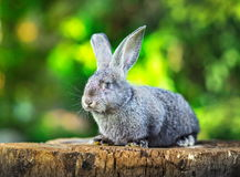 Little grey rabbit on stump Royalty Free Stock Images