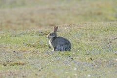 Little Grey Rabbit Stock Image