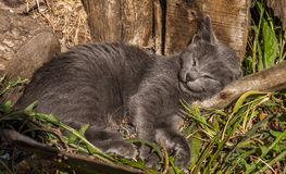 Little grey rascal. He is calm and sleeping with smile! I really liked this little rascal... I miss him a lot, but this is life. Sweet dreams little kitty stock photography