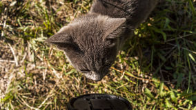 Little grey rascal. This curious little kitty is very attracted by the lens cap! This is good for me, because for once he is not jumpy and I could take dissent royalty free stock photos