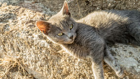 Little grey rascal. Small and absolutely grey kitten was a newcomer to my grandma`s house. One cat just brought him one day. At first he was very jumpy and hard Royalty Free Stock Photo