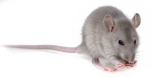 A little grey rat eating Stock Photo