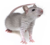 A little grey rat Royalty Free Stock Photos
