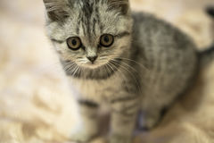 Little grey scottish cat sitting Stock Photos