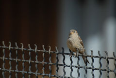 Little grey sparrow sitting on wire netting in spring day. Moscow Stock Images
