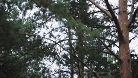 Little grey squirrel jumping from green pine to pine in park. Nature. Trees. stock video footage