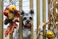 Little grey terrier with red collar. Terrier looking outside fence rails during fall time Stock Image