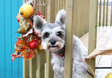 Little grey terrier with red collar. Terrier looking outside fence rails during fall time Stock Photos