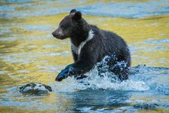 Little grizzly baby bear playing in water. Of Chilkat Inlet in Haines in Alaska, great opportunity for bear-watching, natural habitat of bears, national royalty free stock image