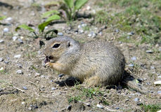 Little ground squirrel 1. Little ground squirrel. Latin name - Spermophilus pygmaeus stock photo