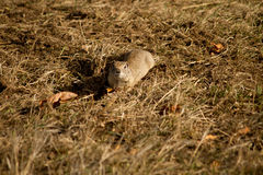 A little ground squirrel Stock Photo