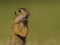 Little Ground Squirrel. This is a young european ground squirrel. You can also call it european souslik Stock Photos