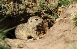 Little ground squirrel royalty free stock photos