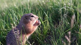 Little ground squirrel sits in the grass and nibbles or eats a carrot. Little funny gopher or ground squirrel sits in the green field with unfocused backdrop stock video footage