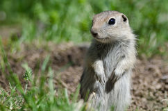 Little Ground Squirrel Standing Guard Over Its Home. Alert Little Ground Squirrel Standing Guard Over Its Home stock image