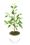 Little growing tree. Over white Royalty Free Stock Photo