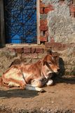 A little grown up calf resting next to blue window Royalty Free Stock Photography