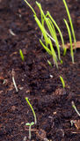 Little Growth Grass Royalty Free Stock Photography