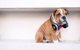 Little grumpy dog Stock Photography