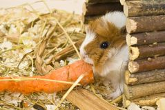Little guinea pig Royalty Free Stock Image
