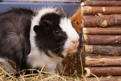 Little guinea pig Royalty Free Stock Images