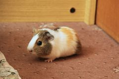 Little guinea pig. Cute little brown and white guinea pig stock image