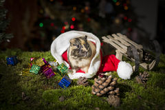 Little guinea pig inside Santa Claus hat Royalty Free Stock Image