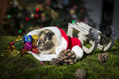 Little guinea pig inside Santa Claus hat Royalty Free Stock Images