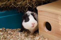 Little guinea pig sits near wooden house. Royalty Free Stock Photography