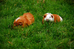 Little Guinea pigs running in grass Royalty Free Stock Photography