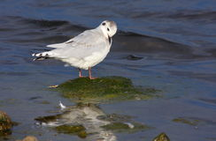 Little gull Royalty Free Stock Photography