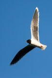 Little Gull Stock Photography